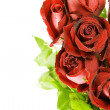 Stock Photo: Red roses against white background