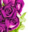 Stock Photo: Pink roses against white background