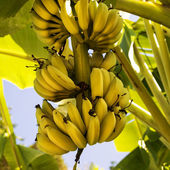 A bunch of bananas on the tree. Square composition. — Stock Photo