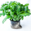 Basil - Stock Photo