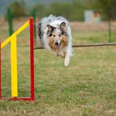 Jumping border collie on agility course — Stock Photo