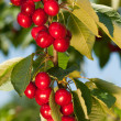 Stock Photo: Red cherries on a branch