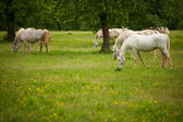 Young white Lipizaner horse on pasture in spring — Stock Photo