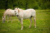 Young white Lipizaner horse on pasture in spring — Stockfoto