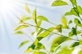 Fresh new green leaves — Stock Photo