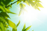 Fresh new green leaves glowing — Stock Photo