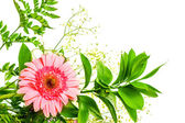Gerbera flower and green leaves — Stock Photo