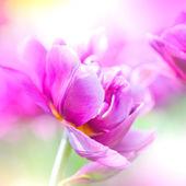 Défocalisation de belles fleurs mauves. — Photo