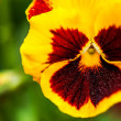 Defocus yellow Pansy Flowers — Stock Photo
