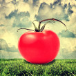 Foto Stock: Yellow and red tomato outdoor
