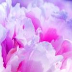 Defocus beautiful pink flowers. abstract design — Stock Photo