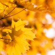 Defocus  autumnal maple leaves — Stock Photo