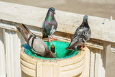 Pigeons bathe and drink from the fountain — Foto Stock