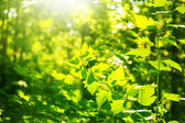 Defocus fresh spring green leaves — Stock Photo