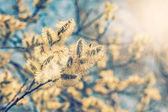 Willow (Salix caprea) branches with buds — Stock Photo