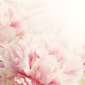 Defocus Closeup of peony flower — Stock Photo