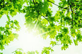 Nature spring maple defocus background — Stock Photo