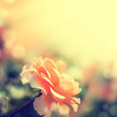 Defocus blur background with rose. — Stock Photo