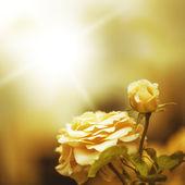 Defocus blur background with rose — Stock Photo