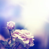 Defocus blur background with rose — Stock Photo