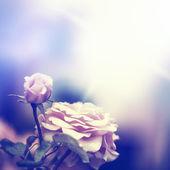 Defocus blur background with rose — Foto Stock