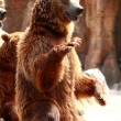 Brown bear looking for food in Madrid Zoo — Stock Photo #12062124