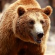 Brown bear looking for food in Madrid Zoo — Stock Photo #12062192
