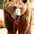 Brown bear looking for food in Madrid Zoo — Stock Photo