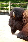 European bison in Autumn, Latin: Bison bonasus — Stock Photo