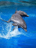 Dolphins playing in formation in the pool — Stock Photo