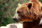 ヒグマ マドリード動物園で食べ物を探して — ストック写真