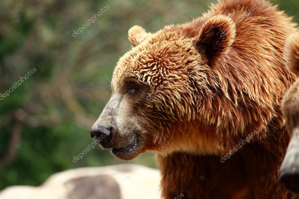 Brown bear looking for food in Madrid Zoo  Stock Photo #12062238