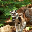 Ring-tailed Lemur on blured background — Stock Photo