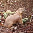 Black-tailed prairie dogs - sticking out from a burrow. - Stock Photo