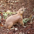 Stock Photo: Black-tailed prairie dogs - sticking out from burrow.