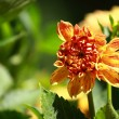 Stock Photo: Red dahliflower at morning light in green garden