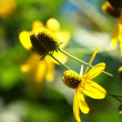 Rudbeckias black eyed susan flowers in garden — Foto de Stock