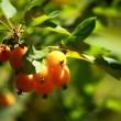 Stock Photo: Chinese apple - Malus prunifolia