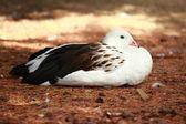 White duck — Stock Photo