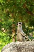 Küçük vahşi suricate meerkat izlerken — Stok fotoğraf