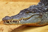 Big Crocodile on yellow sand background — Stock Photo