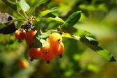 Chinese apple - Malus prunifolia — Stock Photo