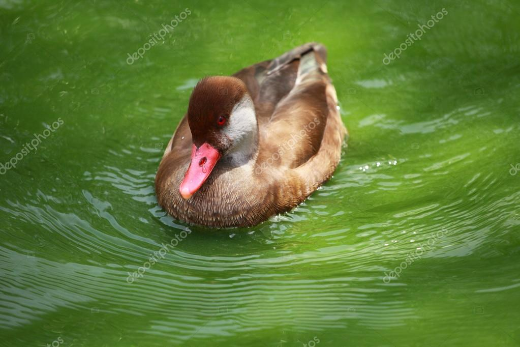 Male Wigeon or Eurasian Wigeon (Anas penelope, previously Mareca penelope) in water  — Stock Photo #12180561