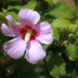 Pink mallow blossoms on green blurred background — Stock Video #12765390