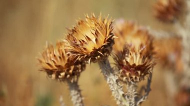 Closeup of spiky dried thistle blossoms with shallow depth — Stock Video