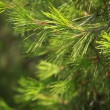 Green pain tree leaves in the wind over blurred background. - Foto Stock