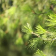 Green pain tree leaves in the wind over blurred background. - Foto de Stock