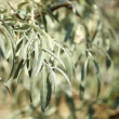 Olive tree with ripe olives over blurred background - Foto Stock