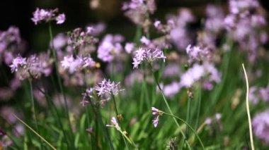 Blue flower on blured background — Stok video