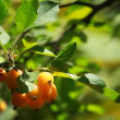 Chinese apple - Malus prunifolia — Stock Video
